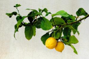 Wasserkocher mit Zitronen entkalken                                        5/5(2)